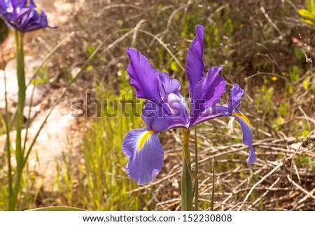 Iris flower growing in nature - stock photo