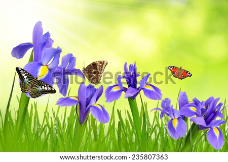 Iris flowers with dewy grass and butterflies on green natural background