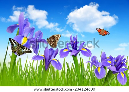 Iris flowers with dewy green grass and butterflies on blue sky