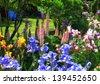 Iris Garden in the Willamette Valley - stock photo