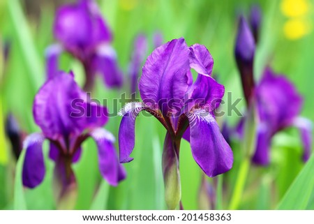 Iris germanica. Plant flowers close up