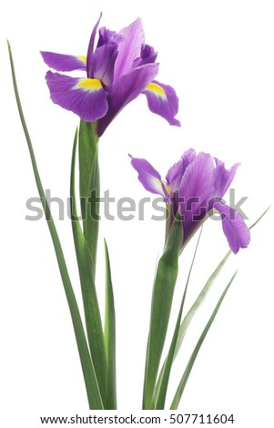 Iris isolated on white background