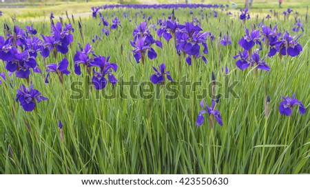 Iris which blooms in a park - stock photo