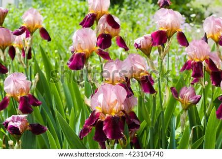 Irises. Beautiful iris flowers in sunny day.  Green scenery in the garden and fresh flowers. - stock photo
