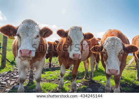 irish cows close up on pasture over blue skies. cows in a countryside landscape field looking straight into camera. funny cow picture. cows cattle heads close up.