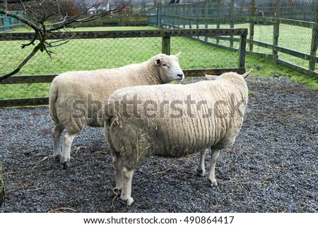irish farm with two sheep in the pens