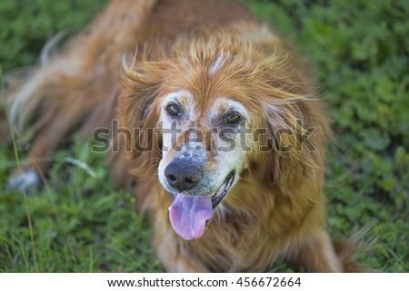 Irish ginger border collie - stock photo