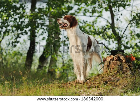 Irish red and white setter near to trophies, horizontal, outdoors - stock photo