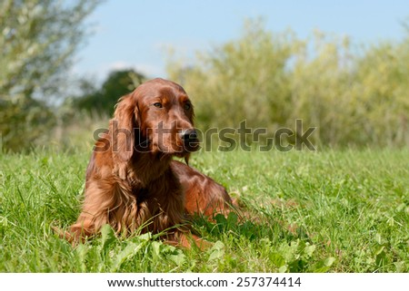 irish red setter lying on meadow - stock photo