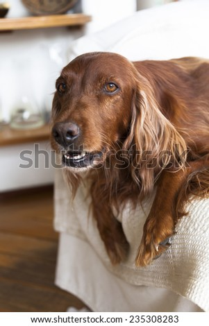 Irish Setter on a couch looking at camera