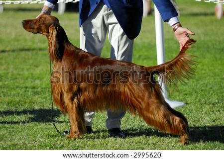 Irish Setter poses for the judges