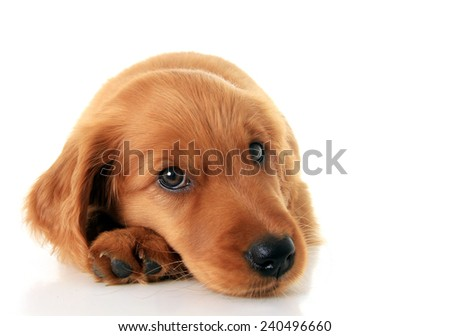 Irish Setter puppy isolated on white.  - stock photo