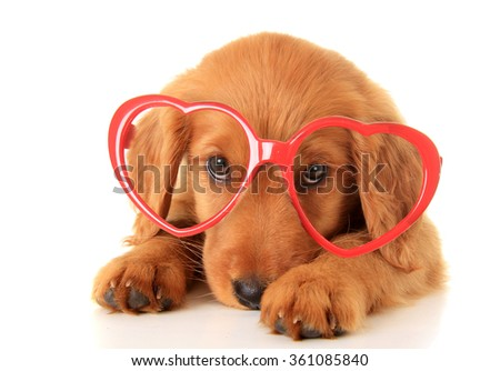 Irish Setter puppy wearing Valentine glasses. - stock photo