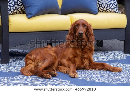 Irish Setter relaxing by patio furniture