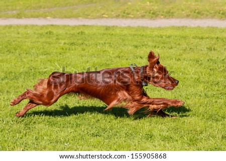 Irish Setter runs on the meadow - stock photo
