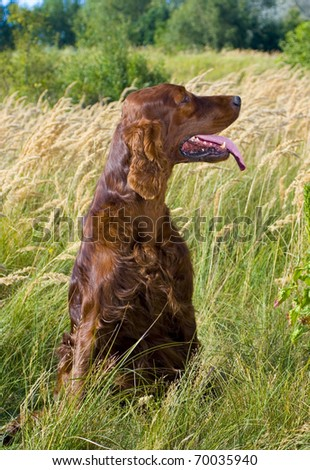 Irish Setter sitting in high grass. - stock photo