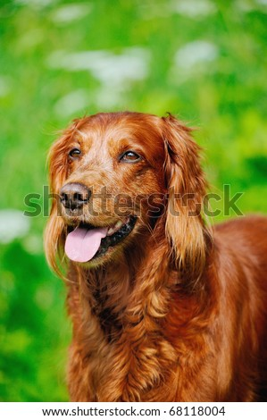 Irish Setter standing in the meadow