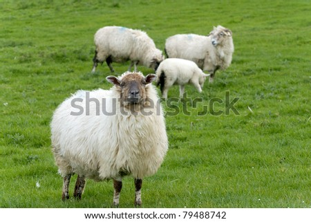 Irish sheep grazing at rural Ireland - stock photo
