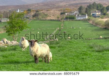Irish sheep on the meadow - stock photo
