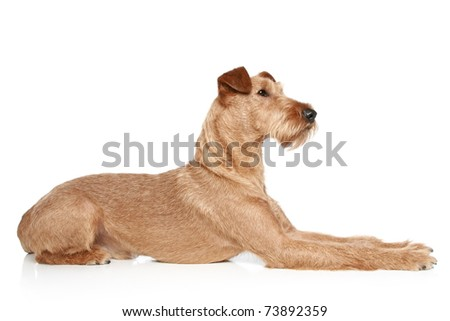 Irish terrier lying on a white background