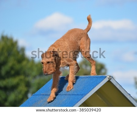 Irish Terrier on an A-frame at Dog Agility Trial - stock photo
