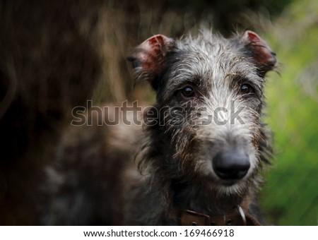 Irish Wolfhound - stock photo