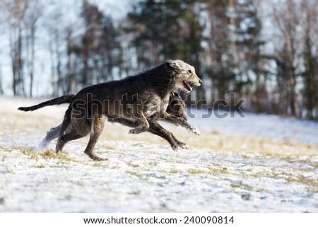 Irish Wolfhound dogs running at winter forest. Irish wolfhound dogs run in field. Two irish wolfhound dogs in winter field  - stock photo