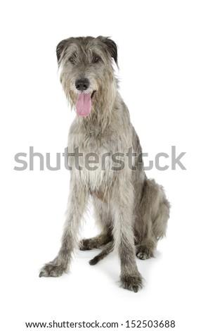 Irish Wolfhound isolated on a white background - stock photo