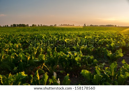 Irrigation of sugar beet agricultural field on sunny summer day. - stock photo