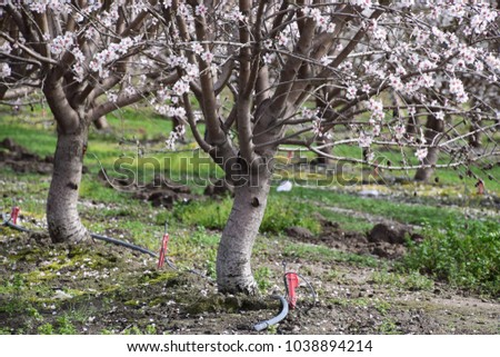 Irrigation system on almond trees, Bakersfield, CA.