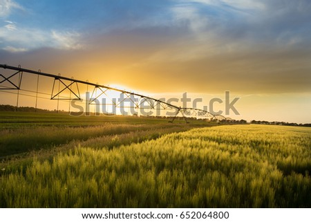 Irrigation system on wheels on wheat field at sunset in spring. Agricultural technologies