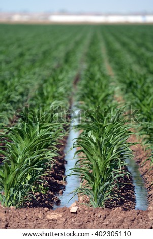 Irrigation water in rows of corn in a large field. - stock photo