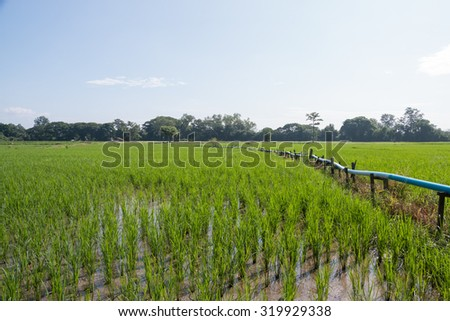 Irrigation with plastic pipe in rice seeding field