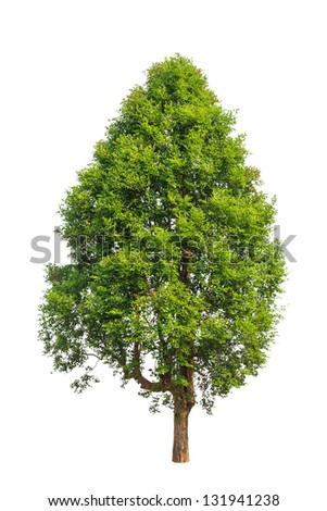 Irvingia malayana also known as Wild Almond, tropical tree in the northeast of Thailand isolated on white background