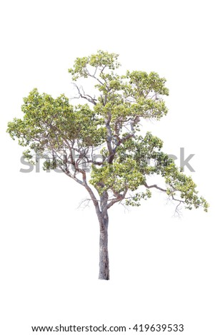 Irvingia malayana also known as Wild Almond, tropical tree in the Thailand isolated on white background