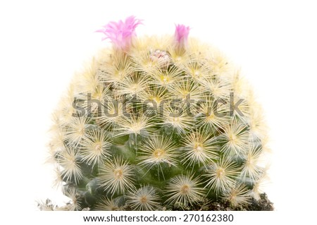 Isla Carmen pincushion cactus on a white background - stock photo