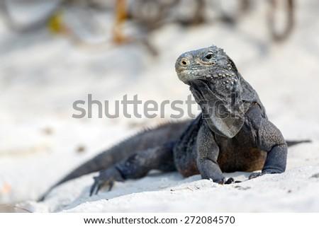 Island iguanas in wildlife. Cayo Largo island - stock photo