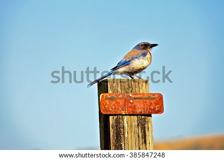 Island Scrub-Jay - stock photo