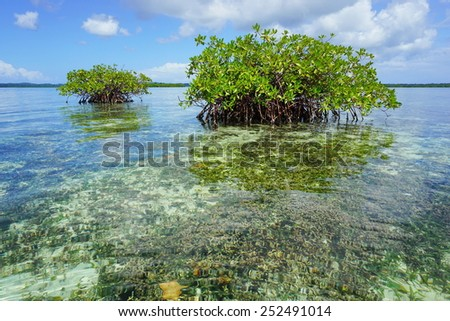 Islets of mangrove in shallow water with corals below sea surface, Caribbean, Panama, Central America