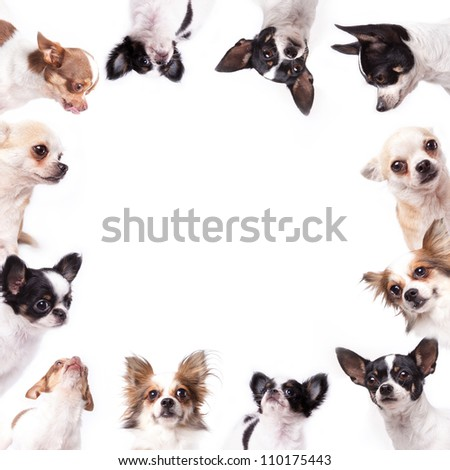 Isolate a circle group of chihuahuas looking at the center of picture