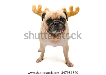 Isolate close-up face of puppy pug dog wearing Reindeer antlers for christmas and new year party - stock photo