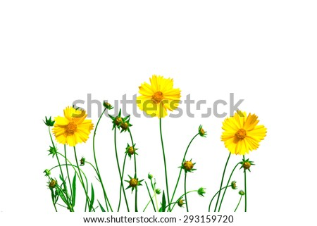 Isolate coreopsis flower on a white background