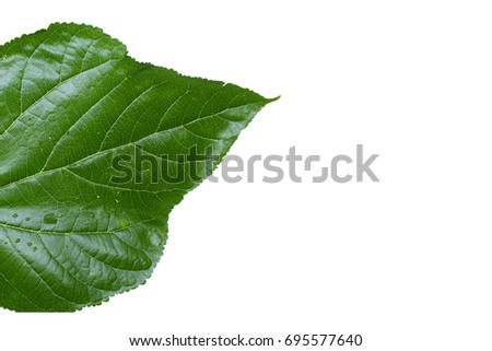 Isolate Mulberry leave on white background.