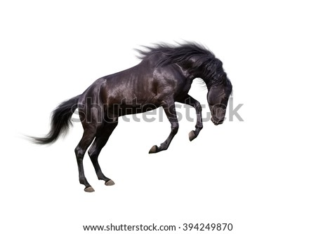 isolate of the black dangerous horse  on the white background