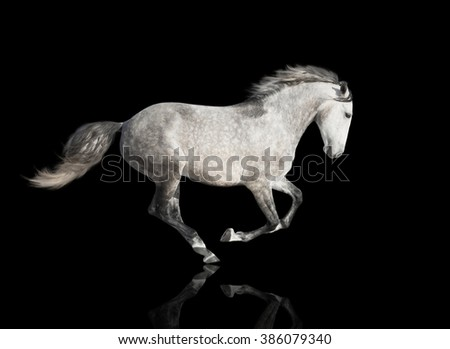 isolate of the gray horse galloping on the black background