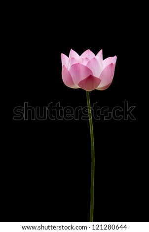 Isolate pink lotus front black. - stock photo