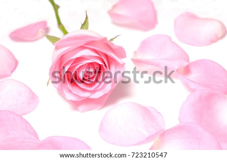 Isolate pink rose, a closeup photo image of single pink rose flower around by a pink petal of rose isolate on white background, flower on petals ground