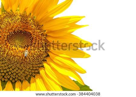 isolate sunflower with bee is doing pollination in flower