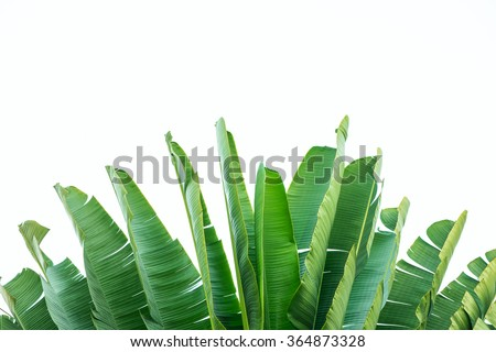 Isolate the banana leaf. - stock photo