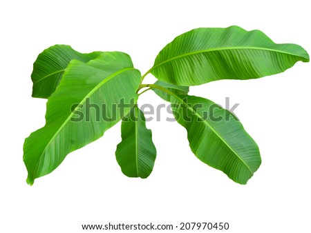 Isolate the top of the banana trees that have large leaves. - stock photo